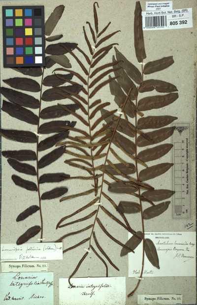 Lomariopsis pollicina (Willem.) Mett.