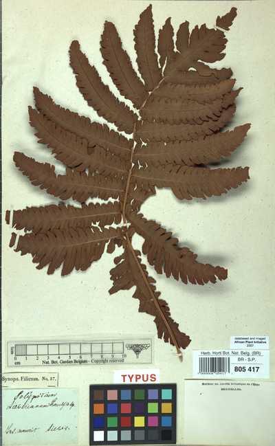 Heterogonium cyatheifolium (Desv.) Tardieu