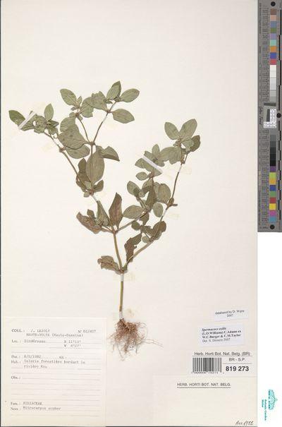 Spermacoce exilis (L.O.Williams) C.Adams ex W.C.Burger & C.M.Taylor