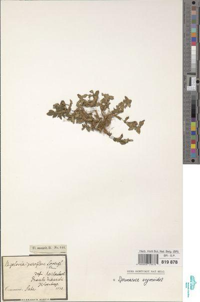 Spermacoce ocymoides Burm.f.