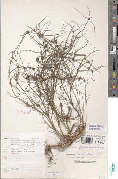Spermacoce filifolia (Schumach. & Thonn.) J.-P. Lebrun & Stork
