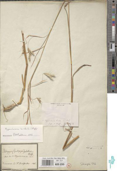 Hyparrhenia hirta (L.) Stapf
