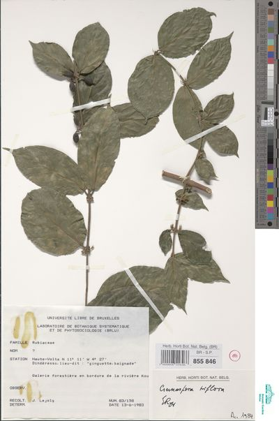 Cremaspora triflora (Thonn.) K.Schum.