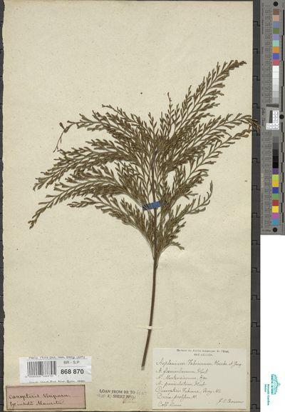 Asplenium viviparum (L.f.) C.Presl
