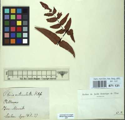 Pellaea angulosa (Willd.) Baker