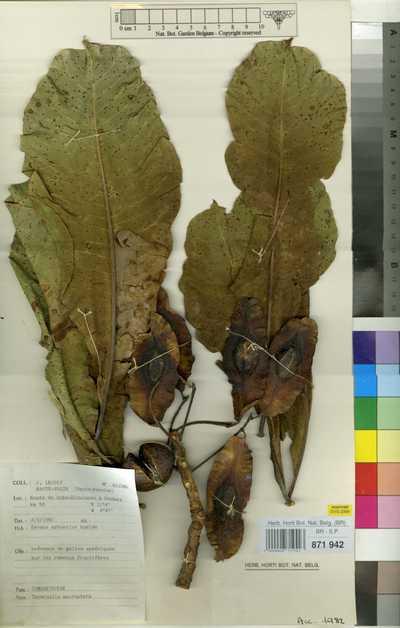 Terminalia macroptera Guill. & Perr.
