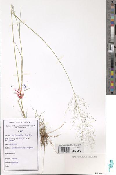 Eragrostis sp.