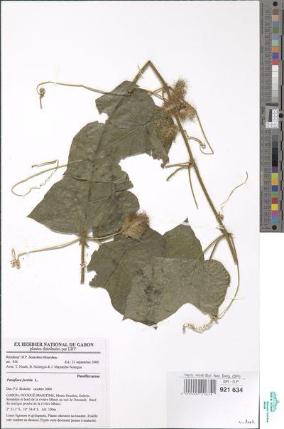 Passiflora foetida L.