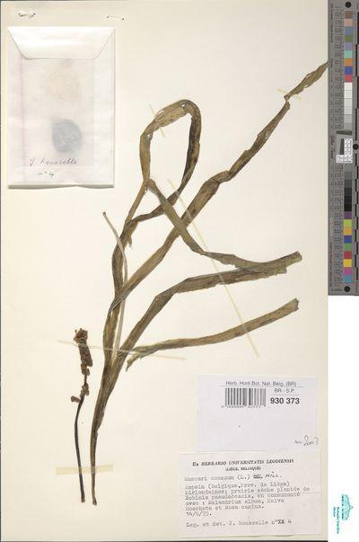 Leopoldia comosa (L.) Parl.