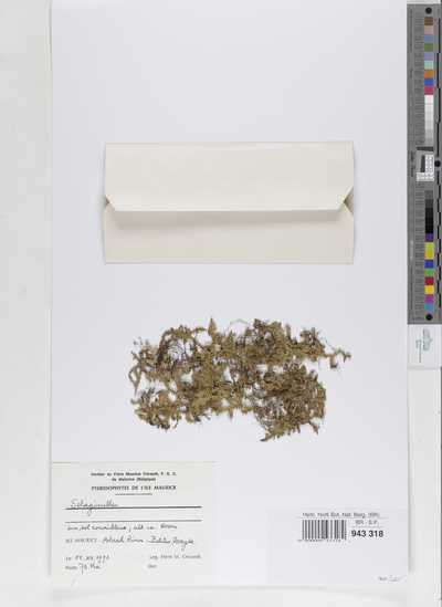 Selaginella sp.