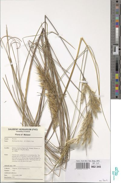 Rytidosperma davyi (C.E.Hubb.) Cope