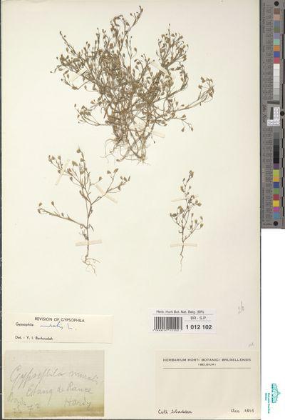Gypsophila muralis L.