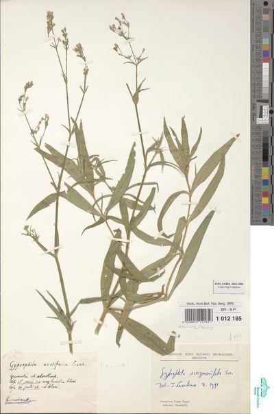Gypsophila scorzonerifolia Ser.