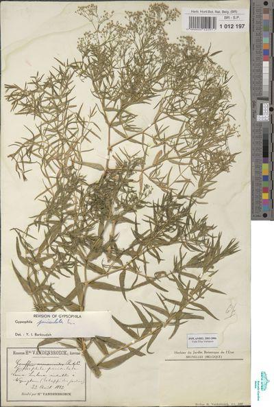 Gypsophila paniculata L.