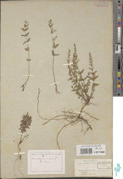 Scutellaria minor Huds.