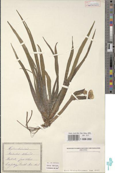 Stratiotes aloides L.