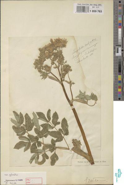Angelica sylvestris L.