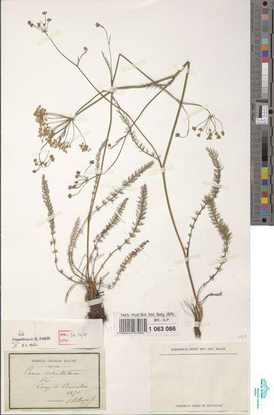 Carum verticillatum (L.) Koch
