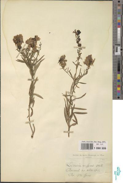 Linaria vulgaris Mill.