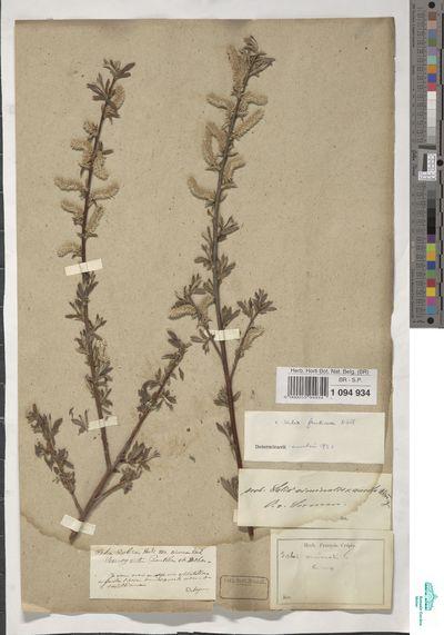 Salix fruticosa Döll