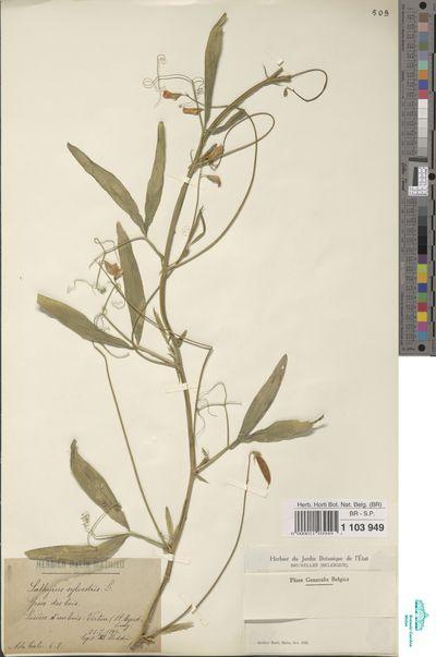 Lathyrus sylvestris L.