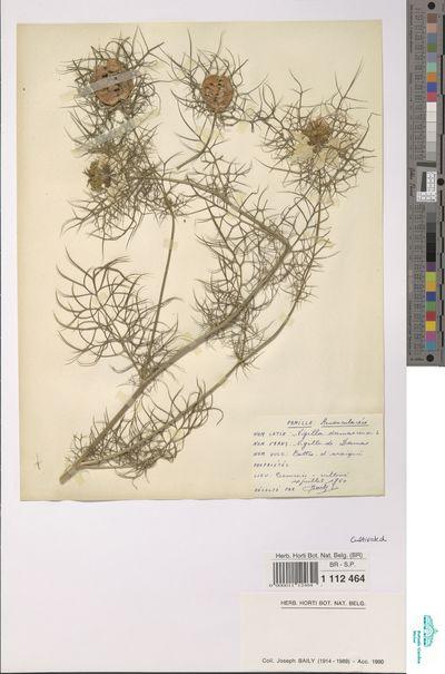 Nigella damascena L.