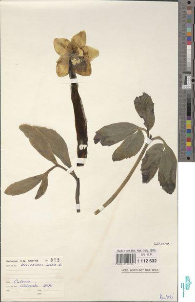 Helleborus niger L.