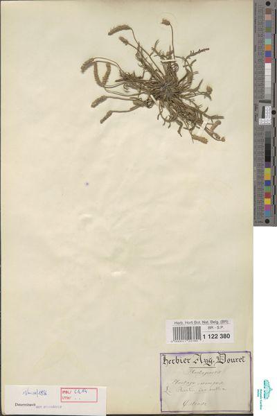 Plantago coronopus L.