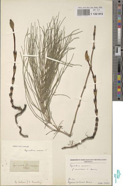 Equisetum arvense L.