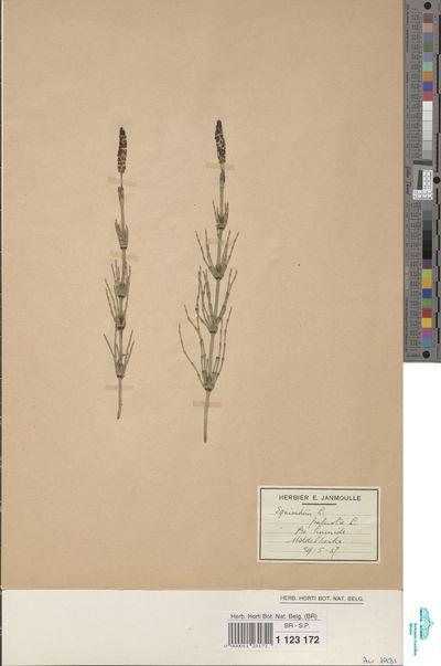 Equisetum palustre L.