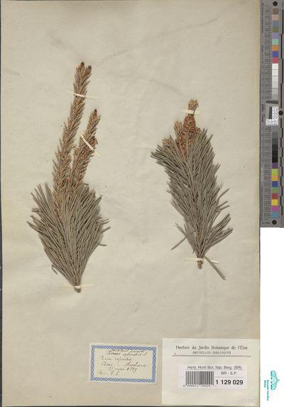 Pinus sylvestris L.