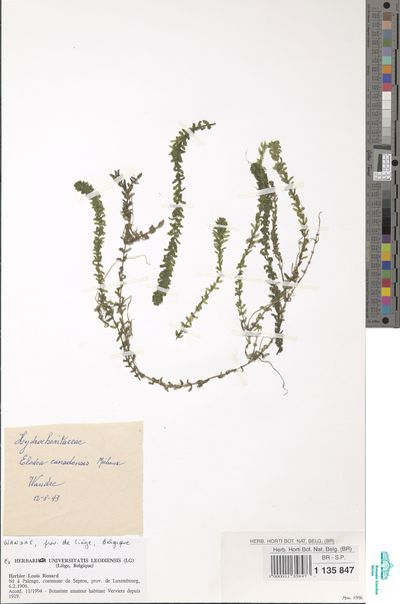 Elodea canadensis Michx.
