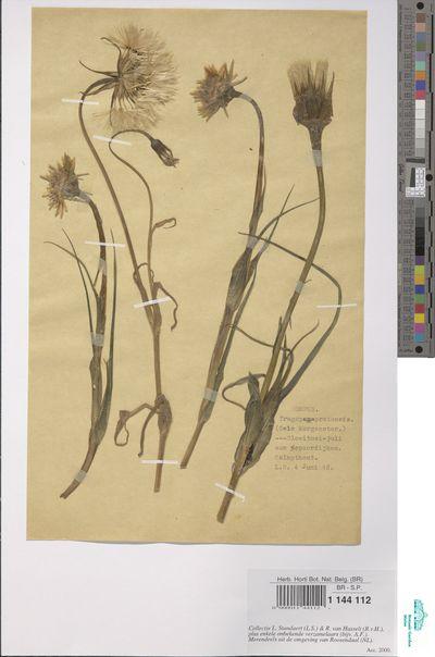 Tragopogon pratensis L.