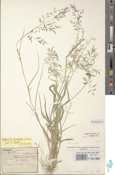Eragrostis barrelieri Daveau