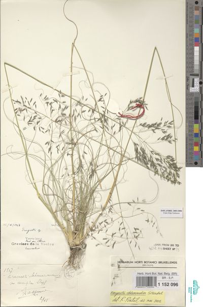 Eragrostis curvula (Schrad.) Nees