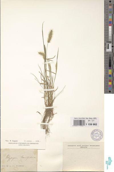 Polypogon monspeliensis (L.) Desf.