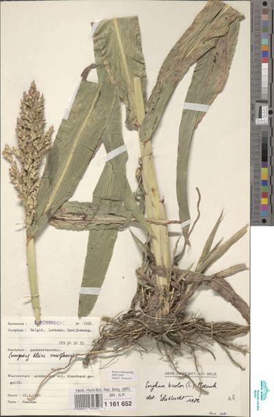 Sorghum bicolor (L.) Moench