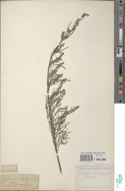 Artemisia abrotanum S.G.Gmel.