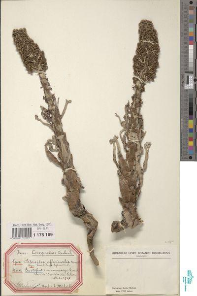 Petasites hybridus (L.) G.Gaertn., B.Mey. & Scherb.