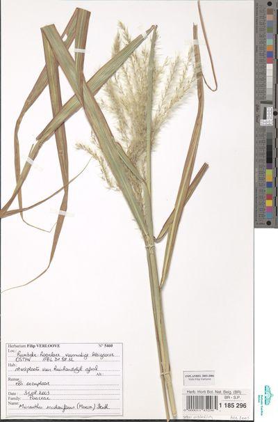 Miscanthus sacchariflorus (Maxim.) Hack.