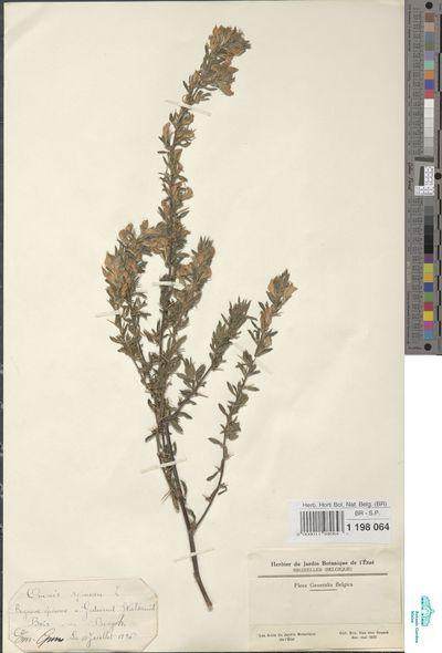 Ononis spinosa L.