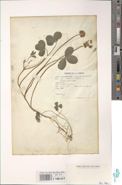Trifolium repens L.
