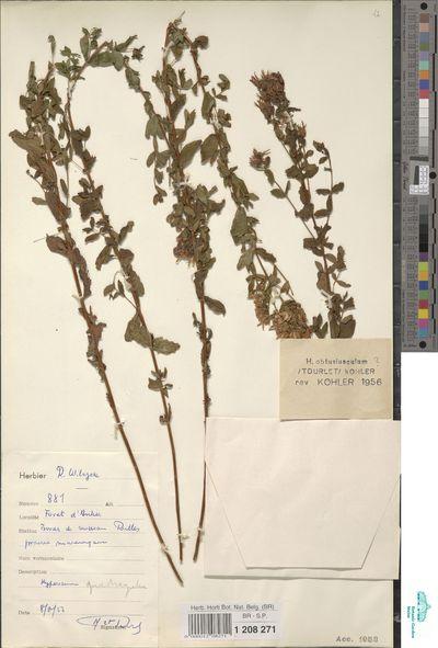 Hypericum sp.