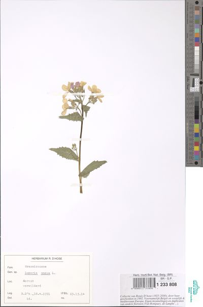Lunaria annua L.