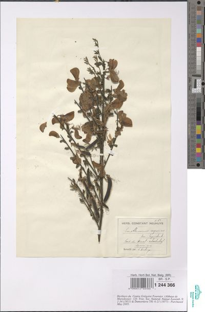Cytisus scoparius (L.) Link
