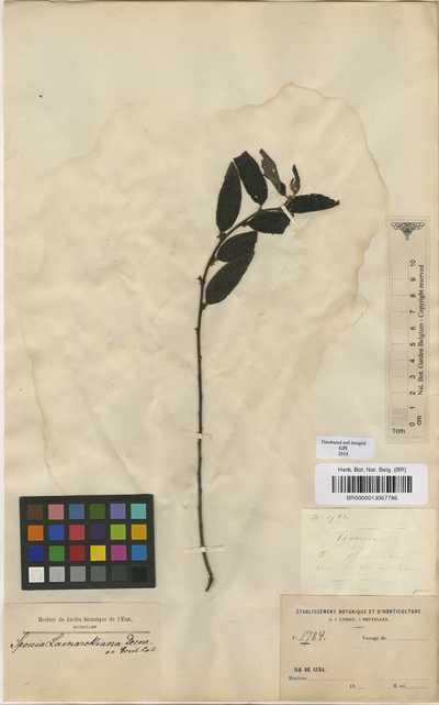 Trema lamarckiana 'Roem. & Schult.) Blume