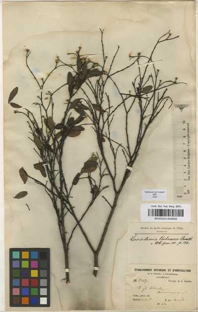 Lasiadenia cubensis (A.Rich.) Benth. & Hook.f. ex B.D.Jacks.