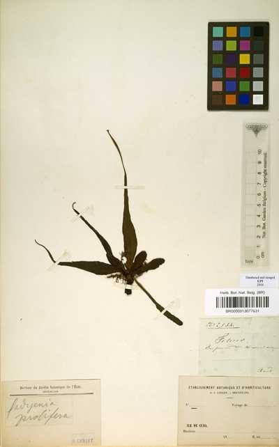 Tectaria prolifera (Hook.) R.M.Tryon & A.F.Tryon