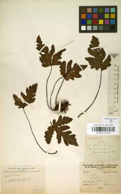 Tectaria pedata (Desv.) R.M.Tryon & A.F.Tryon