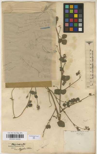 Rhynchosia minima (L.) DC. var. memnonia (Delile) Cooke